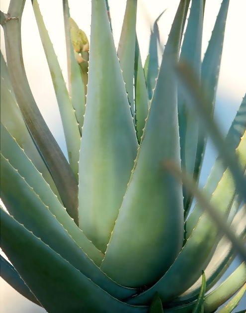 Αλόη Βέρα | Aloe barbadensis Miller
