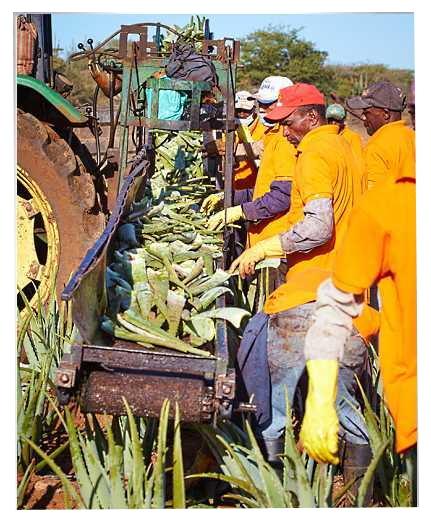 Συγκομιδή των Φύλλων Φυτών Aloe barbadensis Miller