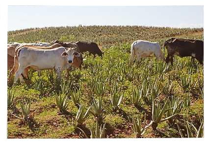 Παροχή Φυσικού Λιπάσματος από Αγελάδες σε Φυτείες Αλόης Βέρα της Forever Living Products