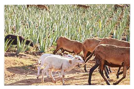 Φυσικός Έλεγχος Ζιζανίων και Παροχή Φυσικού Λιπάσματος από Πρόβατα και Κατσίκια σε Φυτείες Αλόης Βέρα της Forever Living Products