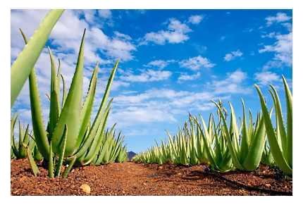 Φυτείες Φυτών Aloe barbadensis Miller της Forever Living Products