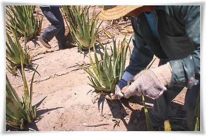 Καλλιέργεια Φυτών Aloe barbadensis Miller