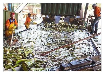 Πρώτο Πλύσιμο Φύλλων Φυτών Aloe barbadensis Miller