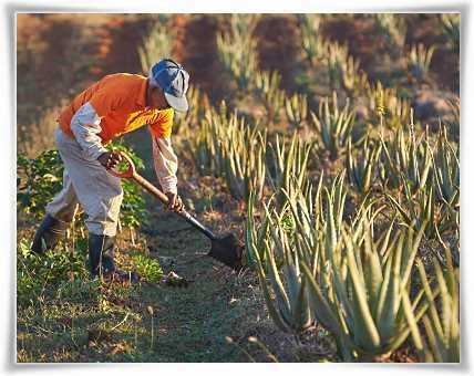 Καλλιέργεια Φυτών Aloe barbadensis Miller με τα Χέρια