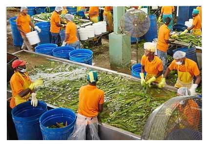 Κυρίως  Πλύσιμο Φύλλων Φυτών Aloe barbadensis Miller